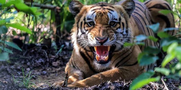 बाँकेमा बाघको आक्रमणबाट एक भारतीय नागरिकको मृत्यु